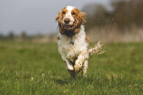 Cocker Spaniel Splashing By Sam Spilsbury Quality Dogs Spaniel