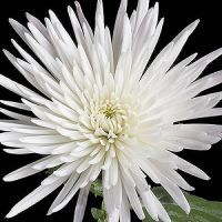 Fuji Mum My All Time Favorite Flower With Images Mums Flowers Spider Mums White Wedding Flowers