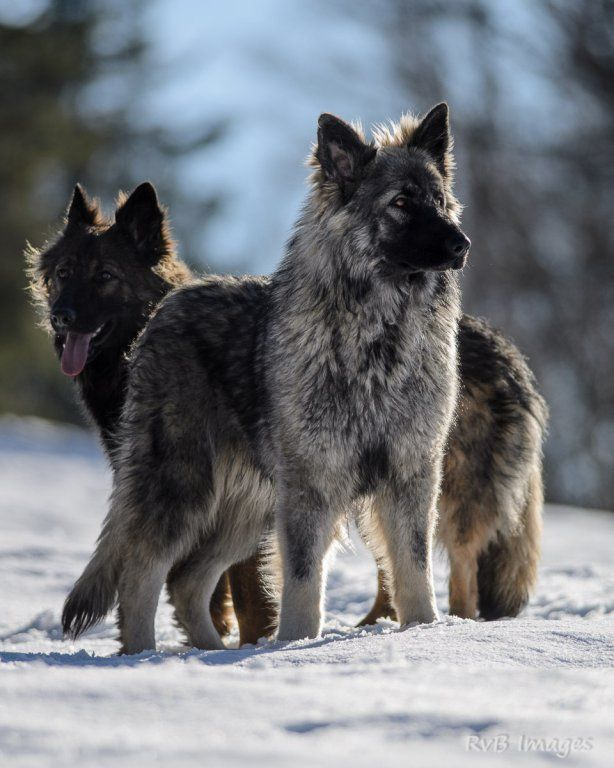 Audacieux la legende du loup noir | Jyoti | Altdeutsche Schaferhunde IX-22