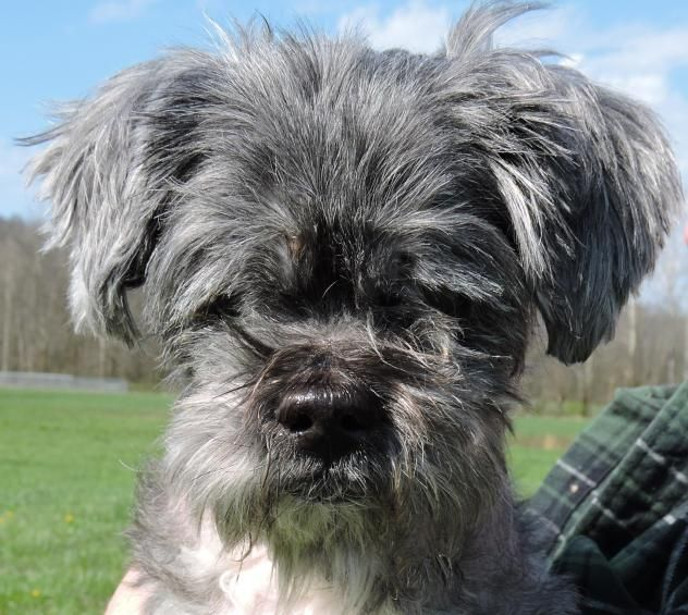 Shih Tzu Dog For Adoption In Nashville In Adn 517618 On