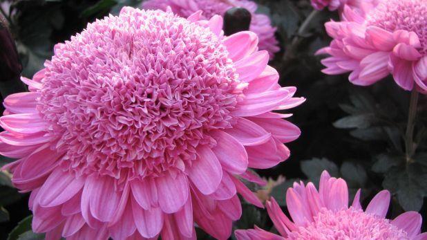 Chrysanthemum X Morifolium Purple Light Chrysanthemum Growing Beautiful Blooms Flowers