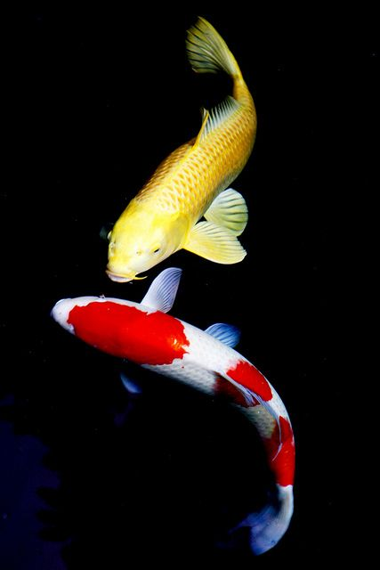 Coi carps koi fish and carp for Koi swimming