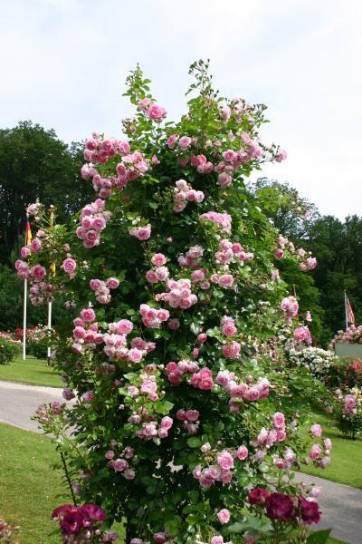 rosa hybride jardin pinterest rosier jardins et plante jardin. Black Bedroom Furniture Sets. Home Design Ideas