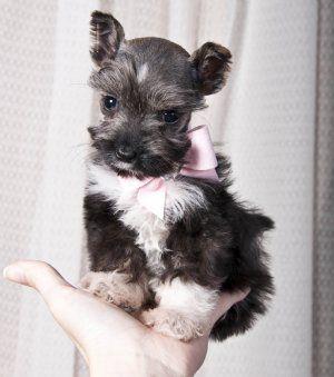Pin By Tammy North Shore On Precious Pets Toy Schnauzer Schnauzer Schnauzer Puppy