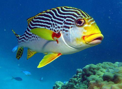Diagonally Banded Sweetlips Poissons Animales Del Oceano Pez