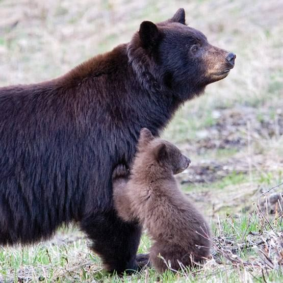 Mother bears tend to be affectionate, protective, devoted, strict, sensitive and attentive toward their cubs, raising them to an age where they can survive on their own. Female cubs may remain in their mother's natal home range, but males are discouraged from staying and must establish a new home.  Photo: Sylvia Dolson www.bearsmart.com