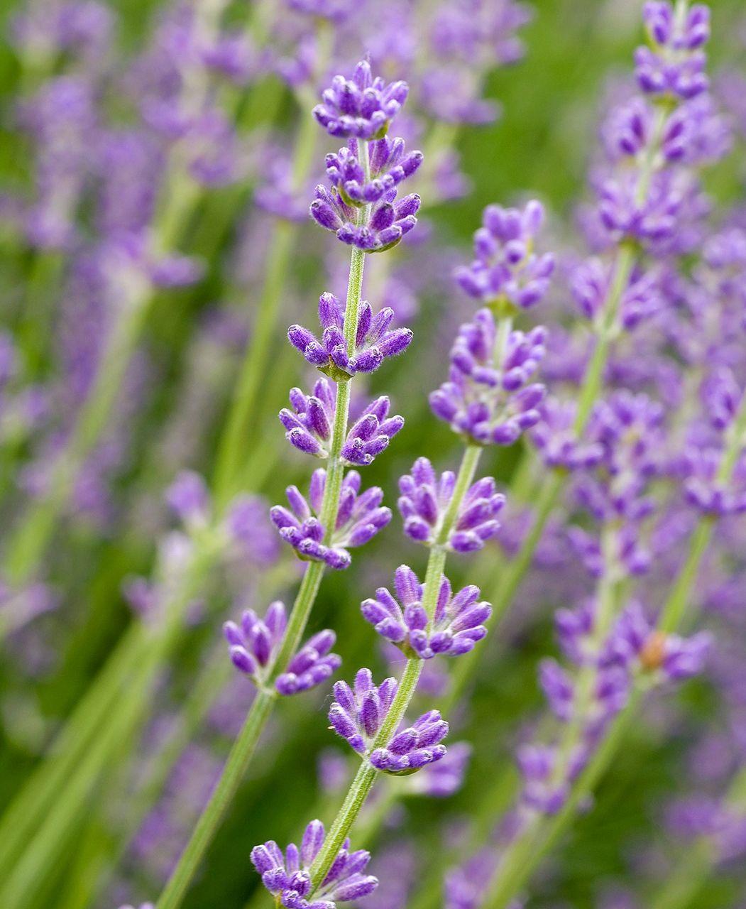 23 Top Lavender Varieties For Filling Your Garden With Color And Fragrance In 2020 Lavender Varieties Types Of Lavender Plants Violet Flower