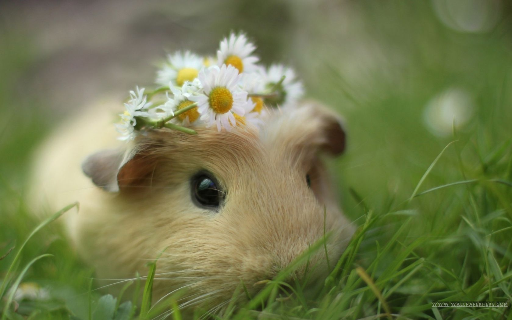 free cute animal background 1080p #qnpaa « wallx | best guinea pig
