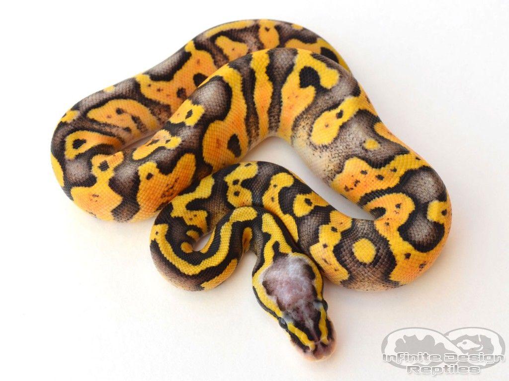 Pied clown ball python - photo#29