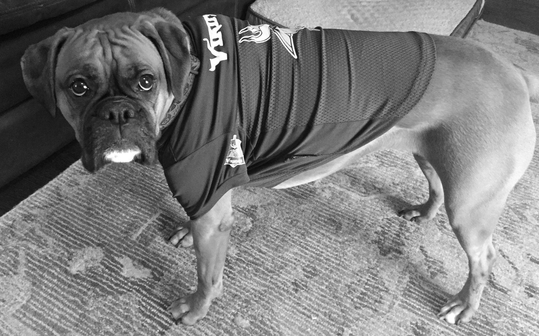 Minnesota Vikings Boxer Dog Boxer Dogs Boxer Puppy Dogs