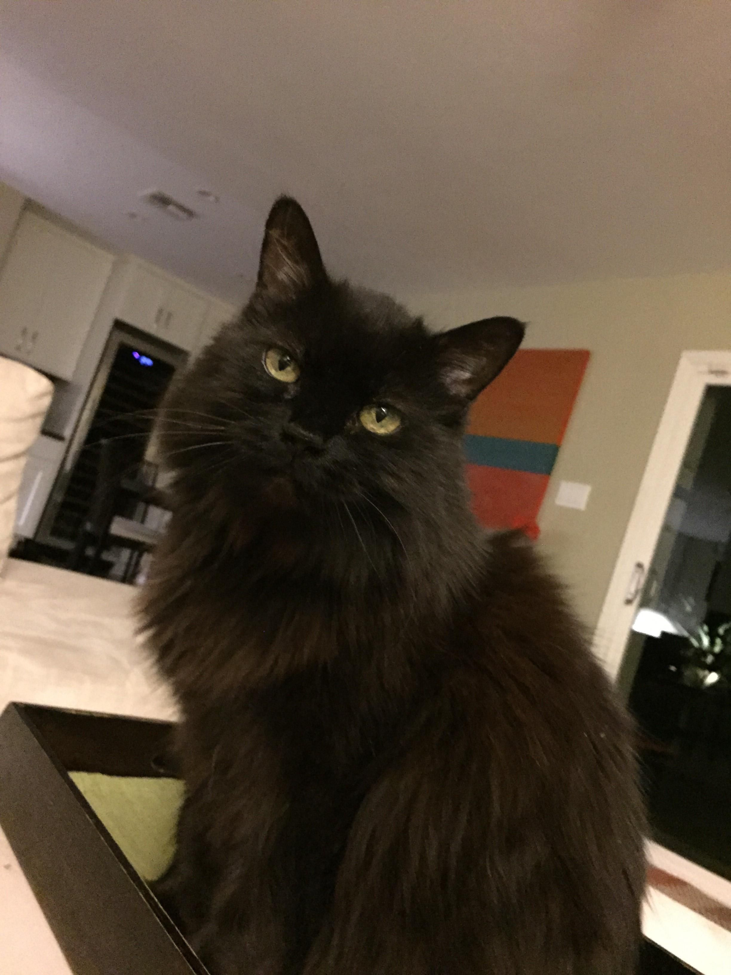 LOST NAME Pandora DESCRIPTION Longhaired, black cat with