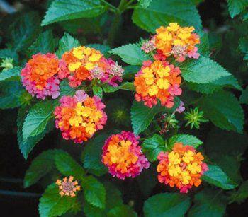 Flowers Of Bangladesh Lantana My Favorite Flower Lantana Plant Lantana Plants