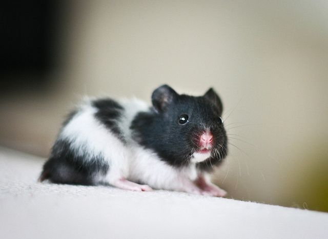 syrian hamster black and white they are going to stay