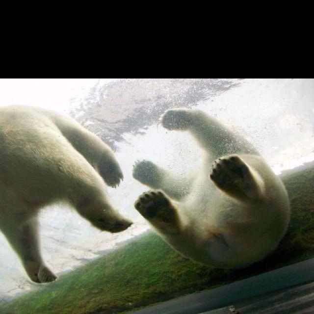 More polar bears