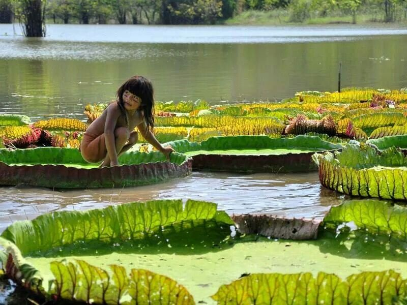 Amazonian Lily Pad Brazil People Of The World