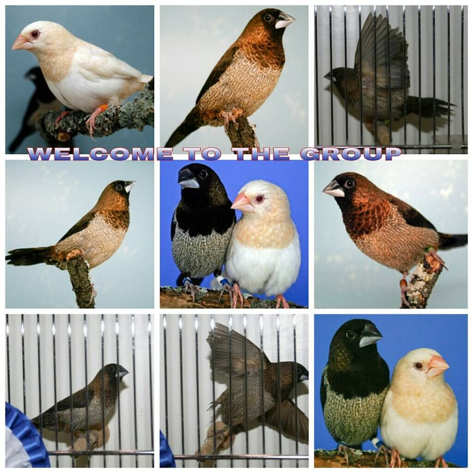 Bengalese Finches Hewan Burung