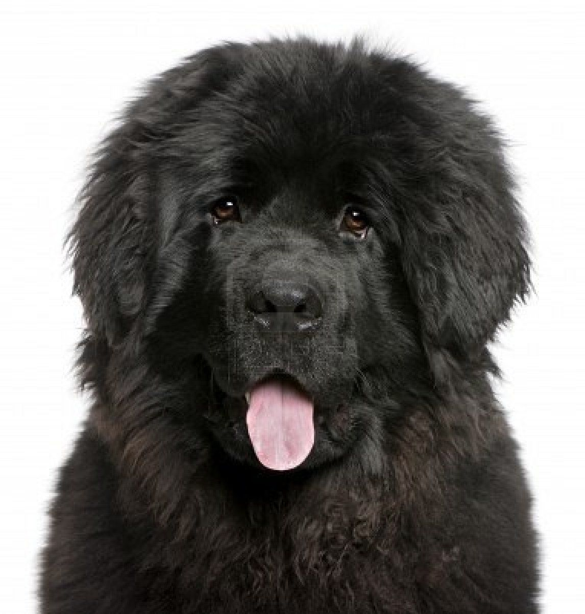 newfoundland puppy probably our next dog ) in a few