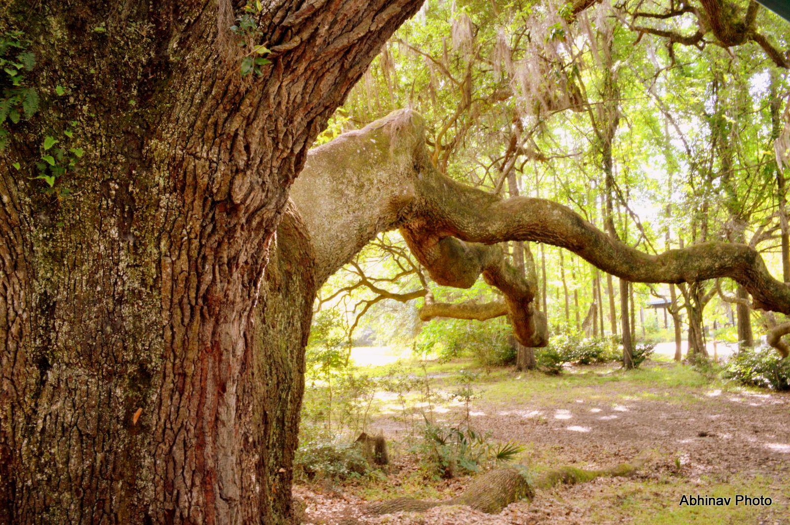 Pin on Magnolia Plantation and Gardens, Charleston, SC