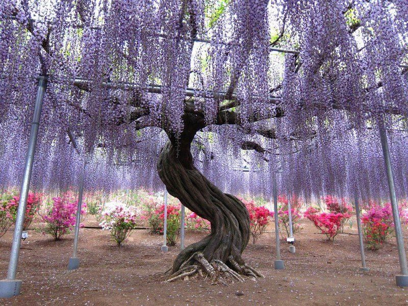 Take A Stroll Wisteria Tunnel At Kawachi Fuji Gardens Kitakyushu - Beautiful wisteria plant japan 144 years old