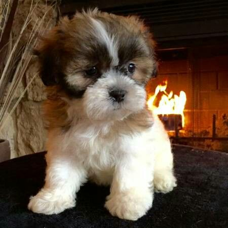 Shichon Hypoallergenic Dog Breed Hypoallergenic Dogs Dog Breeds