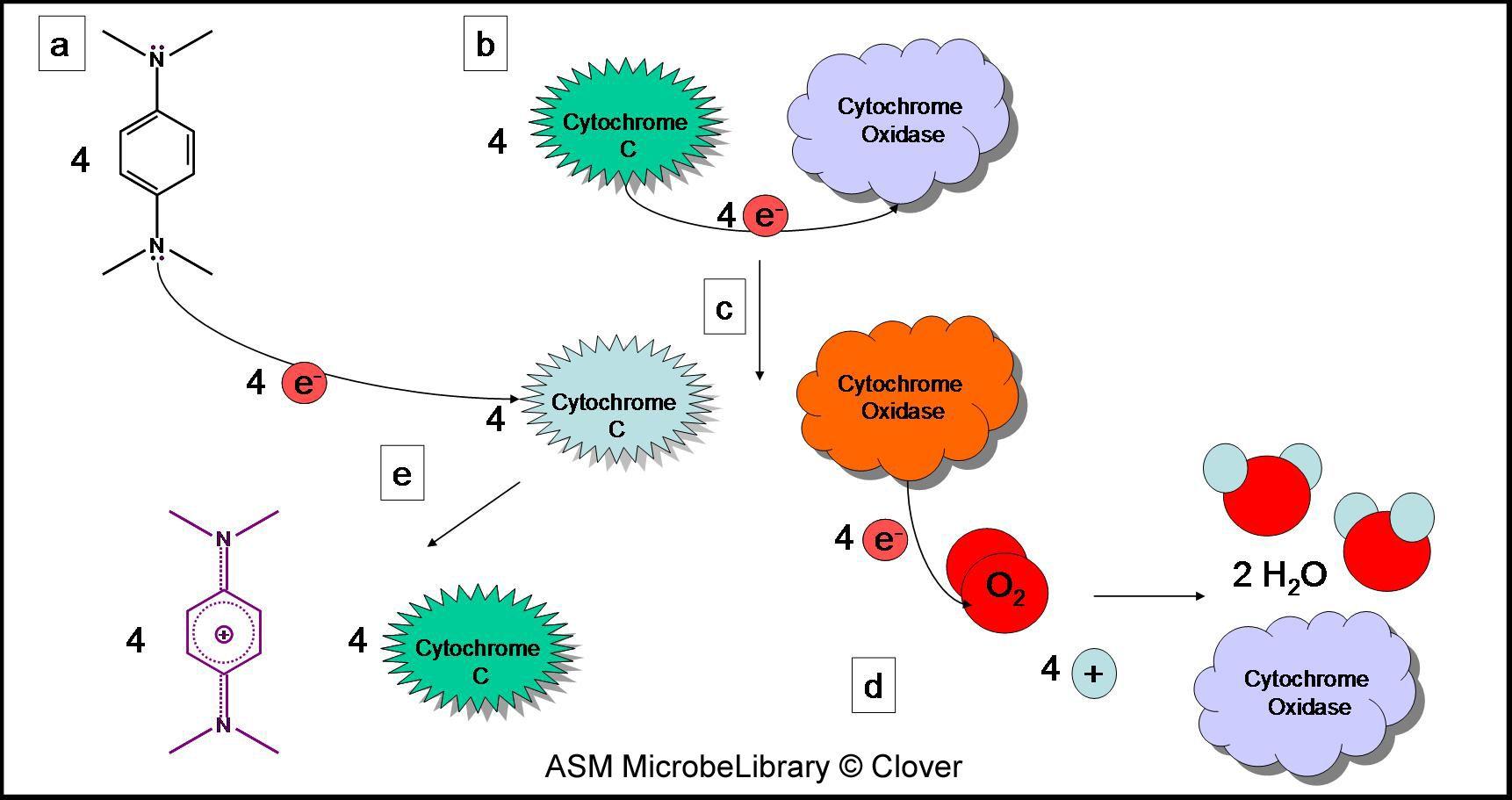 Venn diagram cytokinesis plant animal cells - Oxidase Test