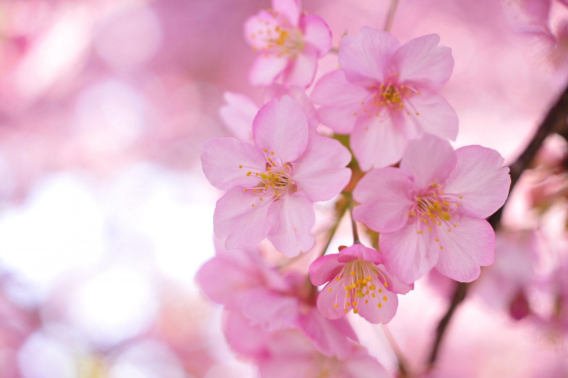 Sakura Tree Branches Pink Flower Petals Blur Hd Wallpaper