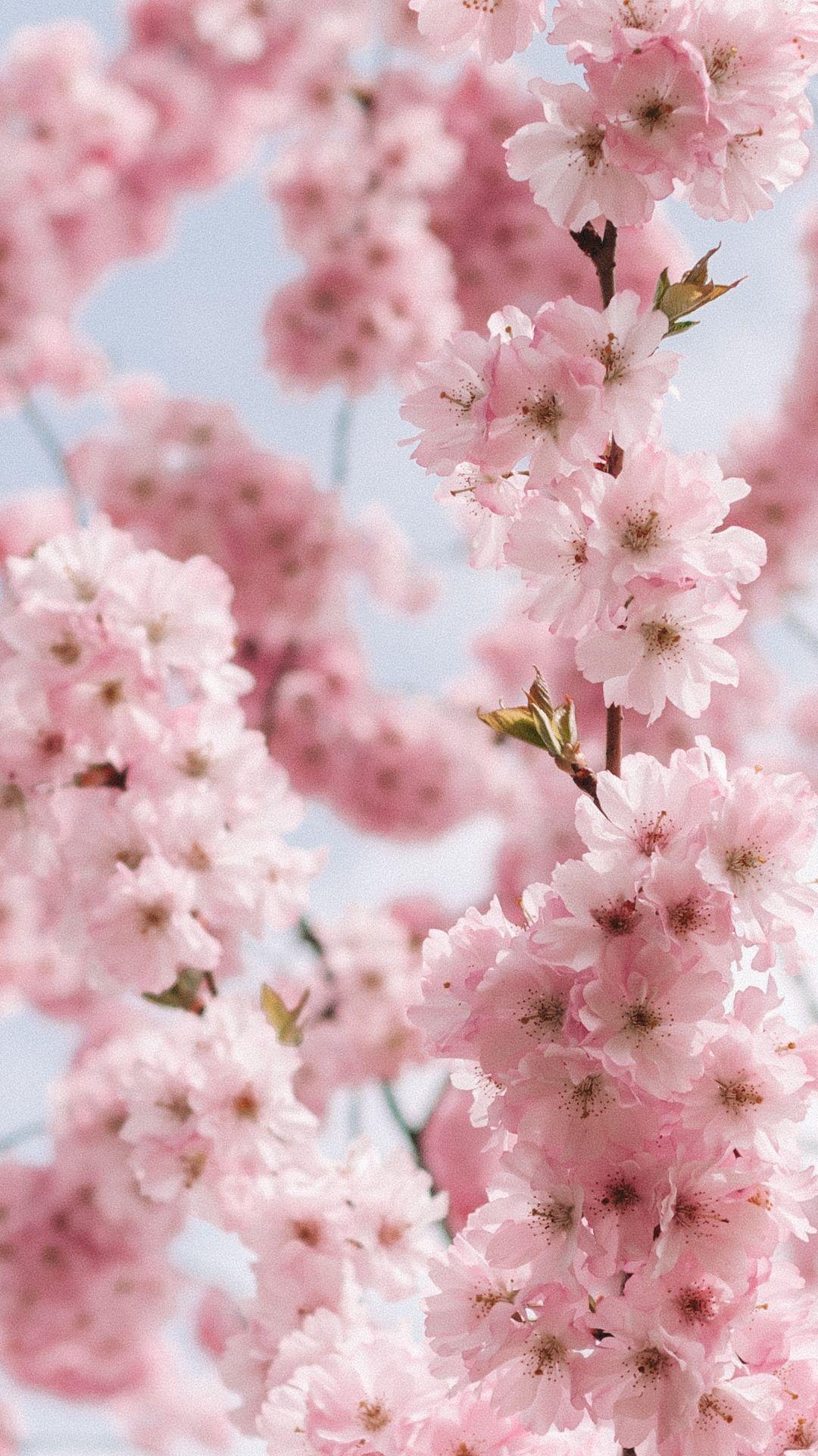 Anime Aesthetic Wallpaper Cherry Blossom Animefan Animelove Animeworld Cherry Blossom Wallpaper Spring Wallpaper Flower Phone Wallpaper