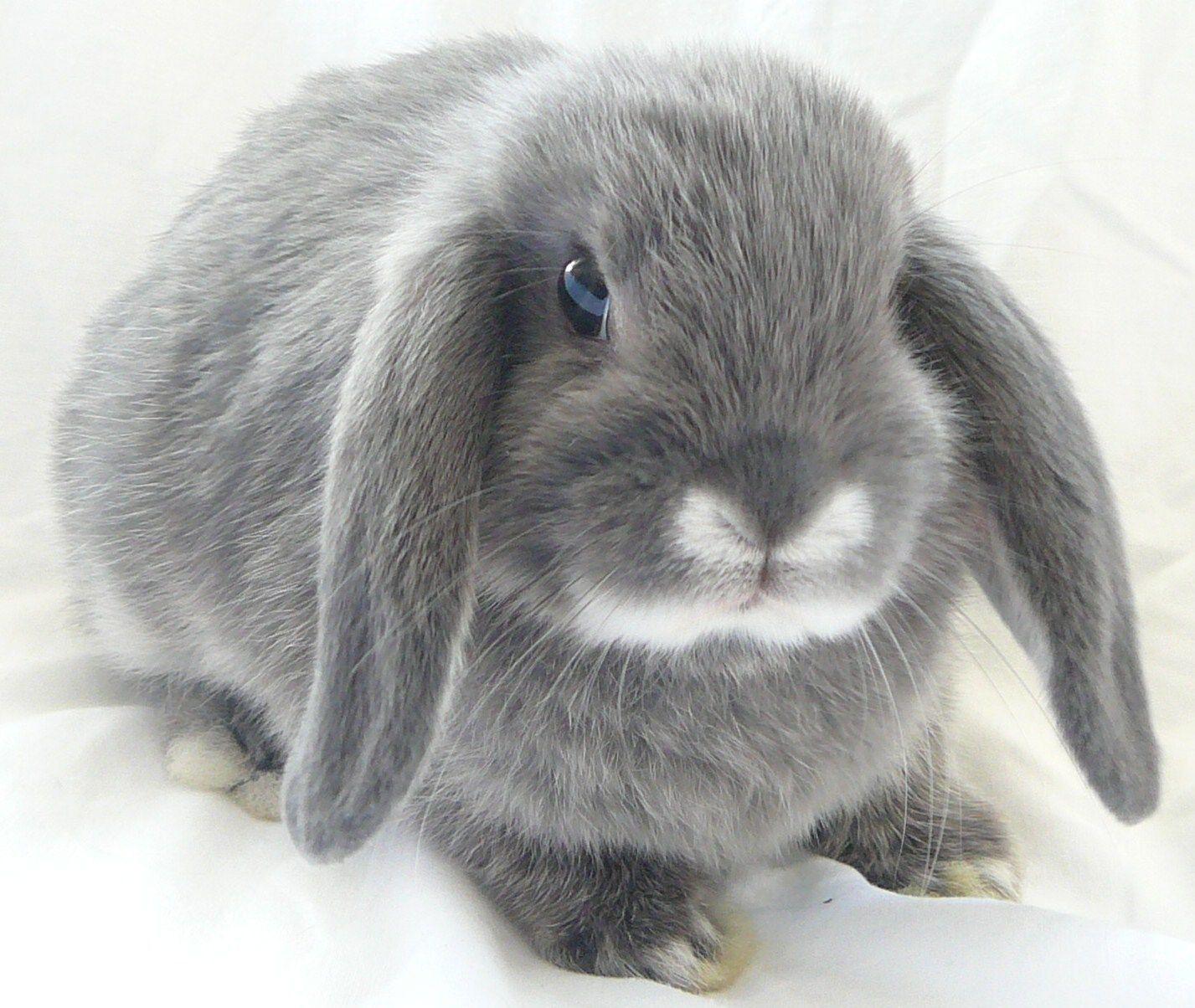 Картинки кролики вислоухие бараны