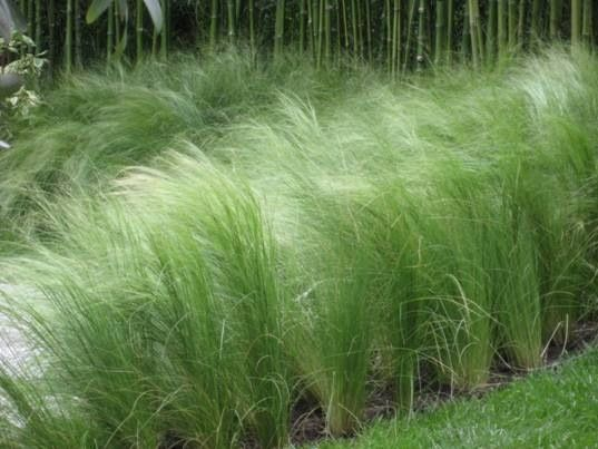 Mass plantings of mexican feather grass love this for Mass planting grasses