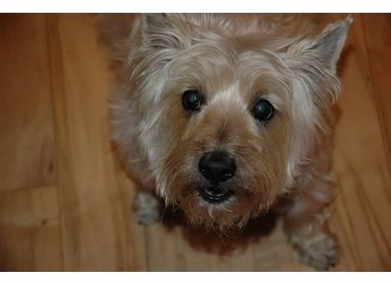 Fiona Speaks Cairn Terrier Terrier Cairn