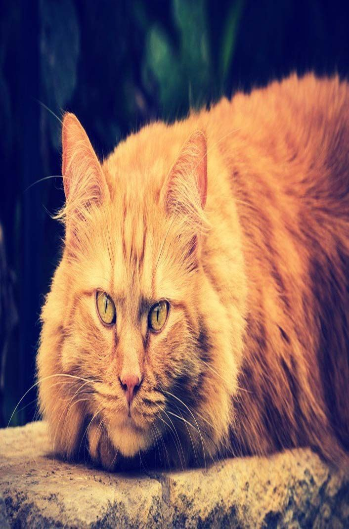 PERFECT DIET & HEALTHY NUTRITION FOR LARGE DOMESTIC CAT