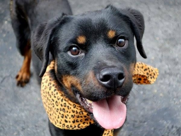Pulled By Eskies Online Please Honor Your Pledges Http Www Eskiesonline Com Donate Htm Manhattan Center P My Name Is Ne Dog Cuddles Rottweiler Mix Lap Dogs