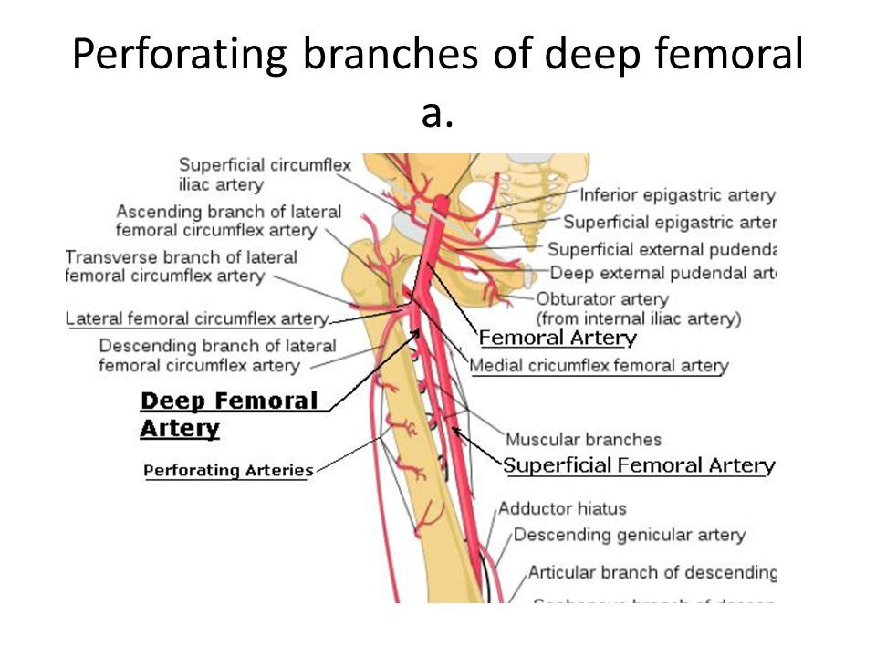 Perforating Branches Of Deep Femoral Artery Pa Anatomy Pinterest