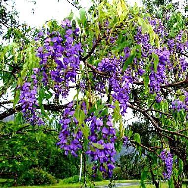 Jacaranda mimosifolia Tree Seeds Purple Flower Clusters Attracts Butterflies