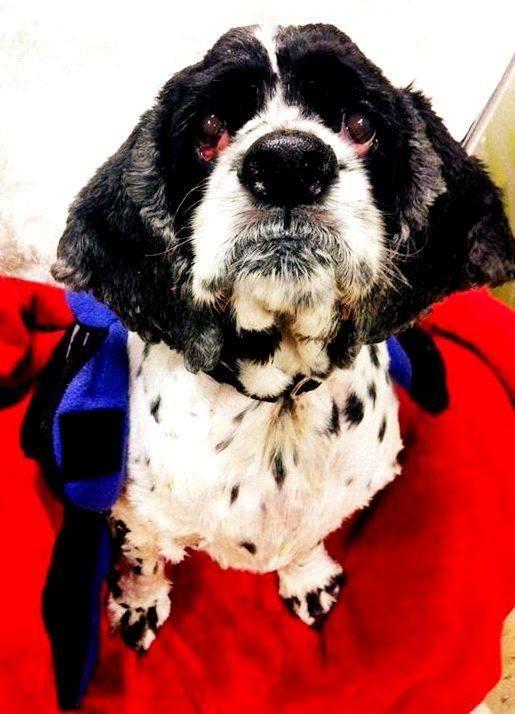 Adopt Gizmo On Petfinder Cocker Spaniel Dog Colorful Dog Dogs