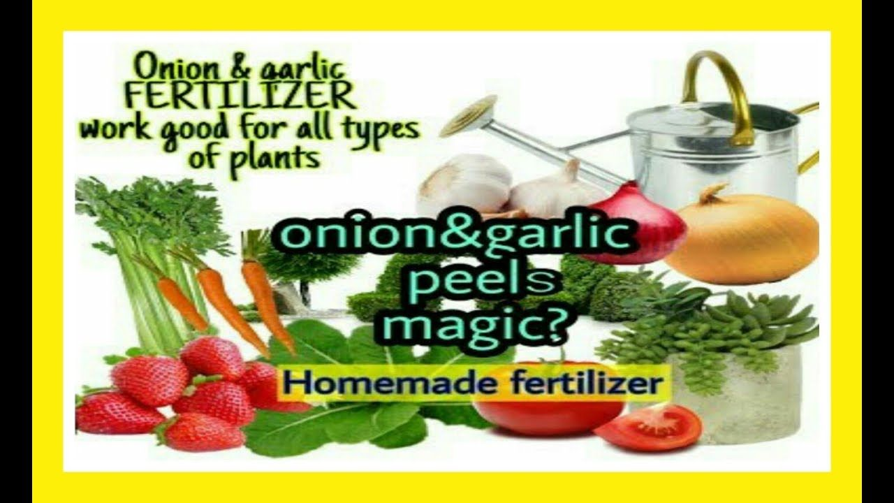 Make Homemade Fertilizer With Onion Garlic Peels Cheapest Way And Safe Gardening Organicgarden Youtube Fertilizer Onion Homemade