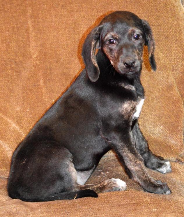 Adopt Baylie On Petfinder Dogs Australian Shepherd Bloodhound