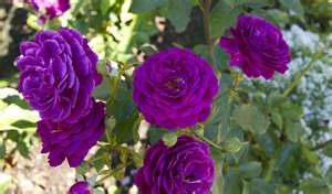 Photo of a purple rose in Rose Garden a Butchart Gardens in Victoria ...