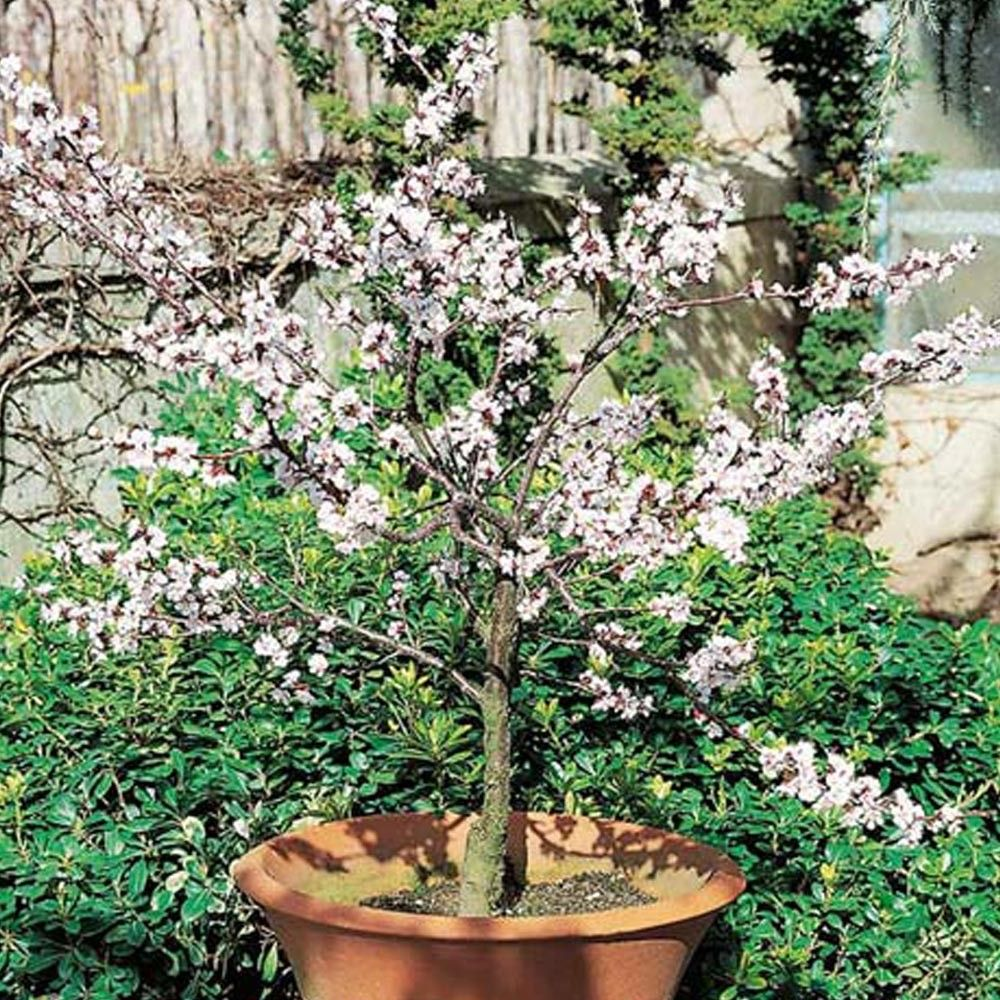Alberi Nani Da Giardino albicocco nano garden aprigold ® | alberi da giardino