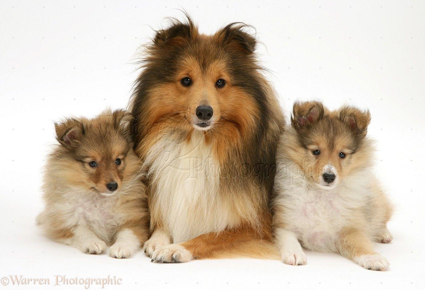 Simple Icelandic Sheepdog Canine Adorable Dog - 32b388ed25d2a97af28fb6ab23541001  Trends_167114  .jpg