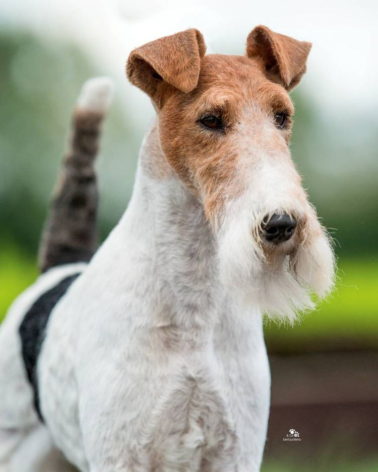 Biggest Uk Best In Show Winner Of All Time All Breeds Wire Fox Terrier Dog Breeds Pitbull Terrier
