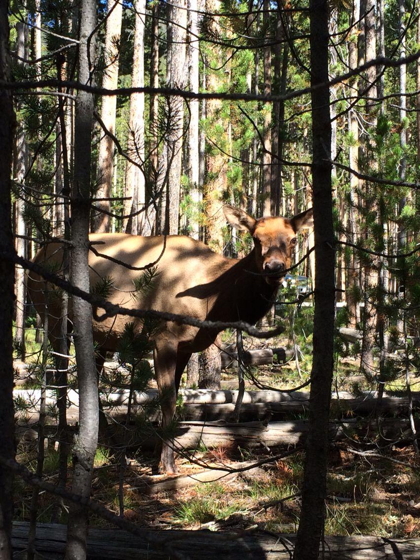 Wild deer@ Yellowstone