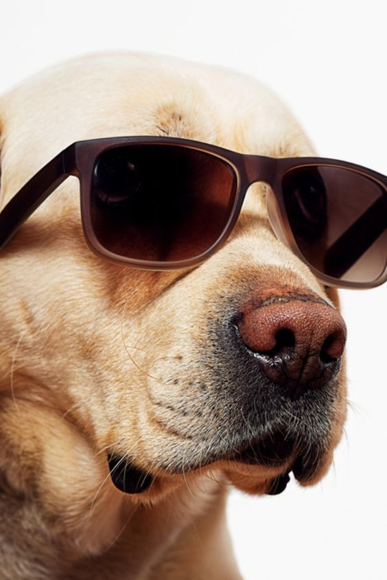 Pin By Whimzpix On Dog On It Labrador Retriever Funny Golden