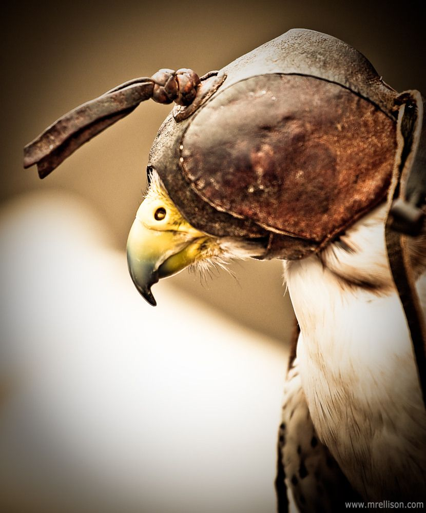 Pin On Falcons And Falconry