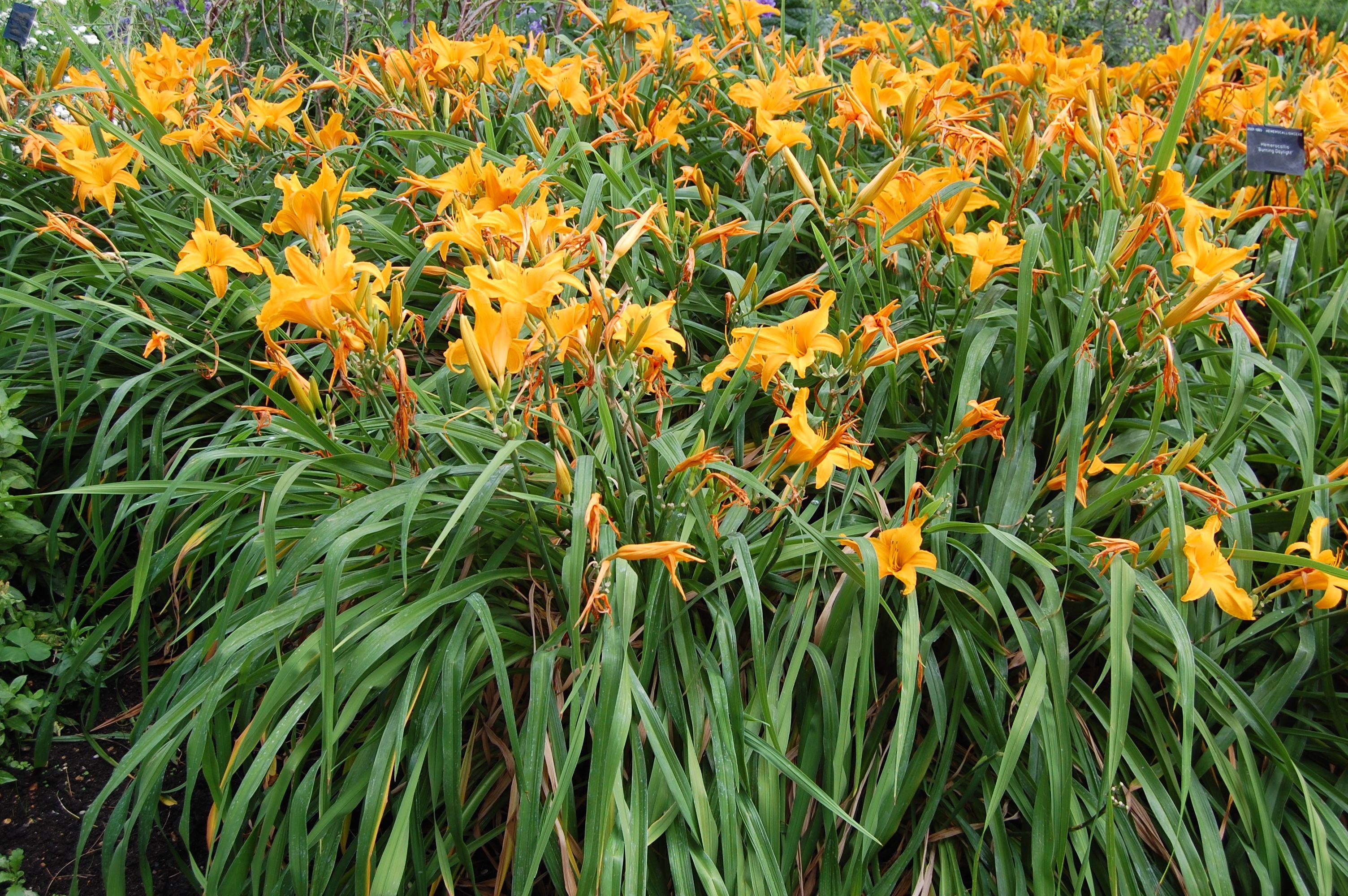 Hemerocallis - evergreen perennial plant