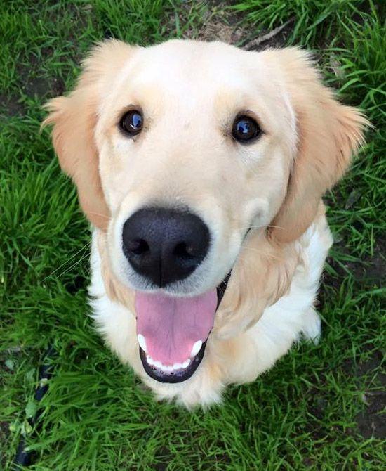 Golden Retriever dog for Adoption in San Diego, CA. ADN