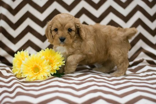 Cavapoo puppy for sale in KENT, OH. ADN66145 on