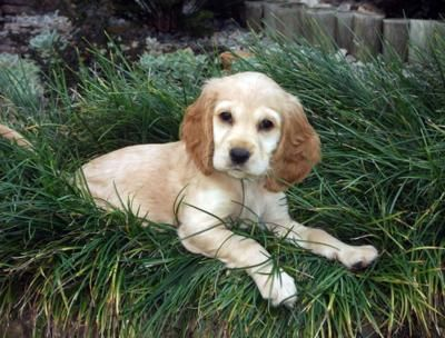 Wags Yelps Do You Think The American Cocker Spaniel Would Be The Perfect Addition To Your Family Cocke In 2020 Cocker Spaniel Puppies Cocker Spaniel Labrador Puppy