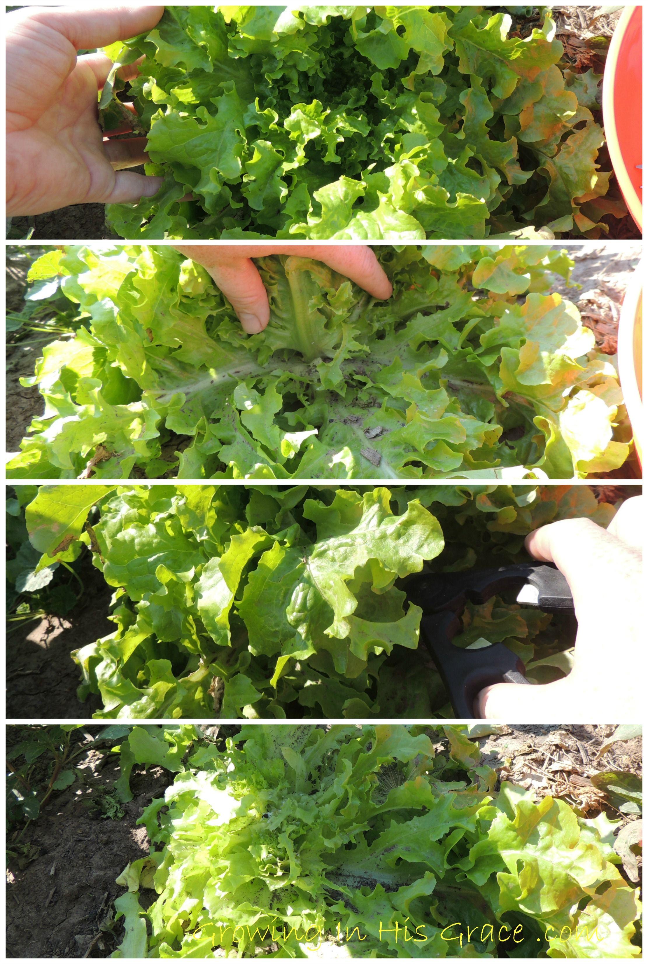 Harvest lettuce so it keeps producing grace garden - How to store lettuce from garden ...