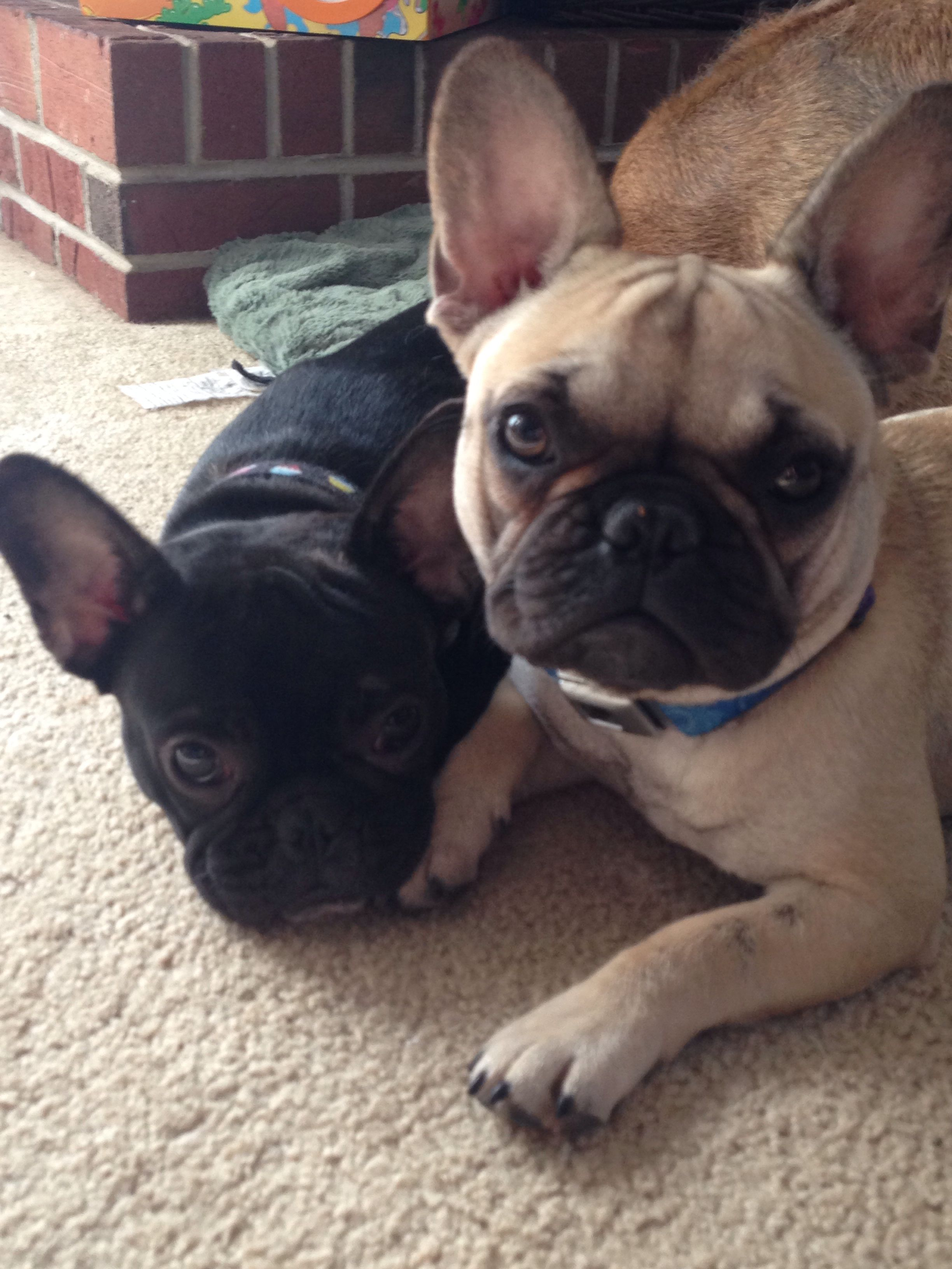 Charlotte and Temperence, French Bulldog Puppies